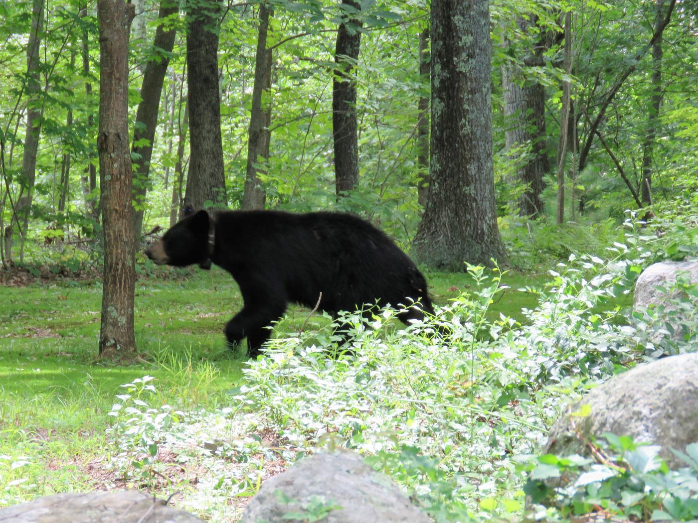 black bear - running through yard