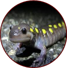 image of salamander with yellow spots